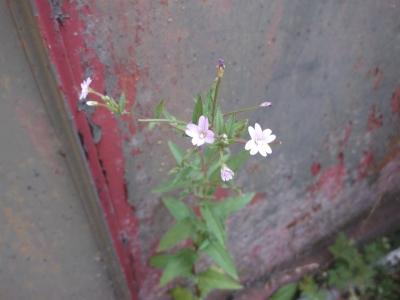 Kleinblütiges Weidenröschen Epilobium parviflorum Samen