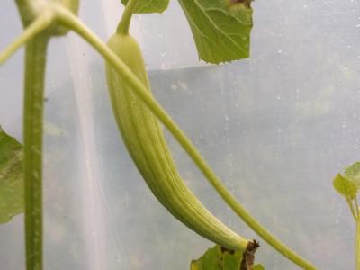 Armenische Melone Yard Long Samen