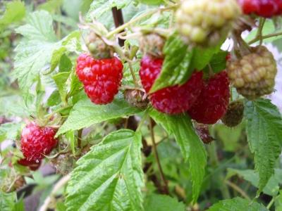 Himbeere Rubus idaeus Samen