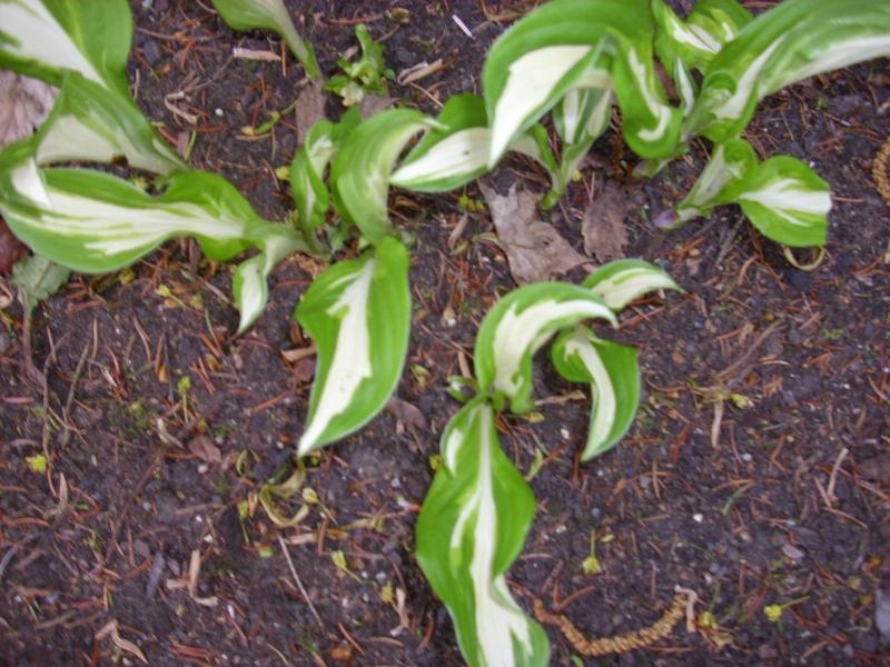schneefederfunkie hosta undulata 39 mediovariegata 39 nutzpflanzen. Black Bedroom Furniture Sets. Home Design Ideas