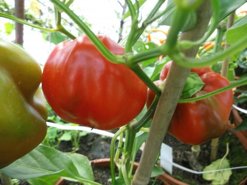 tomatenpaprika samen nutzpflanzen. Black Bedroom Furniture Sets. Home Design Ideas