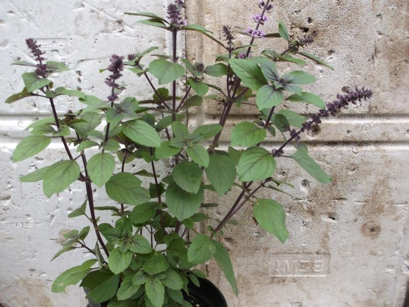 strauchbasilikum african blue pflanze nutzpflanzen. Black Bedroom Furniture Sets. Home Design Ideas