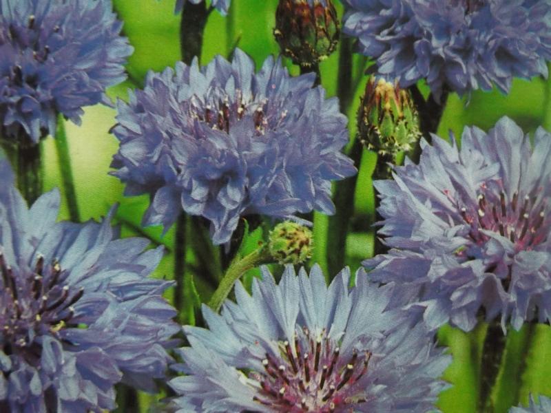 kornblume blue boy samen centaurea nutzpflanzen. Black Bedroom Furniture Sets. Home Design Ideas
