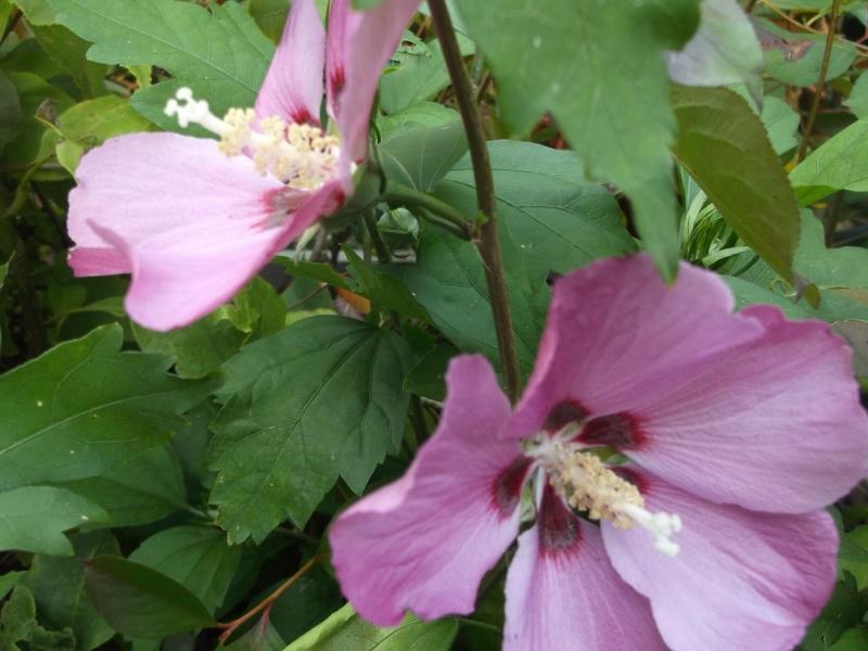 hibiscus syriacus 39 pink giant 39 der garteneibisch nutzpflanzen. Black Bedroom Furniture Sets. Home Design Ideas