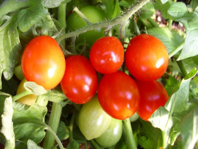 tomate s sse von der krim samen nutzpflanzen. Black Bedroom Furniture Sets. Home Design Ideas