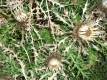 Zwergsilberdistel Carlina acanthifolia Samen