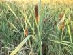 Schmalblättriger Rohrkolben Typha angustifolia Pflanze