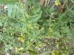 Gemeine Pastinake Pflanze