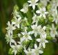 Duftblütenknoblauch Pflanze