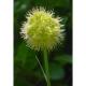 Scharfer Gelblauch Pflanze