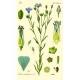 Lein/Flachs Linum usitatissimum blau Samen