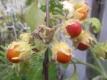Litschitomate Pflanze