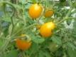 Tomate Yellow Plum alte Sorte Pflanze