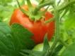 Tomate Heinz Ketschuptomate Pflanze