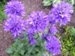 Knäuelglockenblume Pflanze