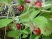 Erdbeere PROFUMATA DI TORTONA Pflanze