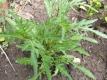 Wilde Rauke  Pflanze