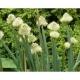 Altailauch Allium altaicum Pflanze