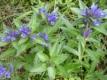 Kreuzblättriger Enzian Pflanze