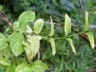 Gelbes Geißblatt Pflanze