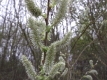 Salweide Salix caprea Pflanze