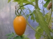 Tomate De Berao gelb Samen