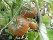Tomate Dwarf Wild Fred Samen