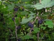Schwarze Honigbeere Worcesterbeere Pflanze
