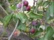 Löhrpflaume  Pflanze