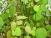 Lebkuchenbaum unbewurzelter Steckling