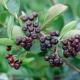 Apfelbeere ´Viking´unbewurzelter Steckling