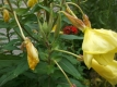 Gemeine Nachtkerze Oenothera biennis Pflanze