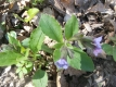 Lungenkraut Pulmonaria officinalis Pflanze