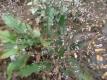 Strandflieder Blauer Diamant Limonium latifolium Samen