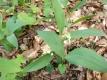 Maiglöckchen Convallaria majalis Pflanze