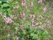 Seidelbast Daphne mezereum Pflanze