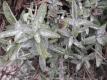 Indianischer Räuchersalbei Salvia apiana Pflanze