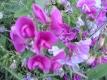 Staudenwicke Lathyrus latifolius Pflanze