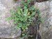 Wildkresse Cardamine amara Pflanze