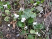 Duftveilchen weiß Viola odorata Pflanze