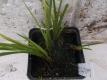 Lakritz-Kalmus-Pflanze