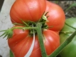 Tomate Pink Brandywine Pflanze