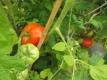 Tomate Bonnie Best Pflanze