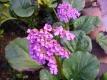 Bergenie Rotblum Pflanze