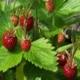 Erdbeere Russische Teppicherdbeere Samen