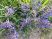 Wiesensalbei Salvia pratensis Samen
