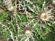 Zwergsilberdistel Carlina acanthifolia Pflanze