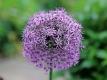 Riesenlauch Allium giganteum Samen