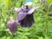 Akelei Blue Barlow gefüllt Aquilegia vulgaris Samen