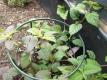 Aztekisches Süßkraut Lippia dulcis Pflanze